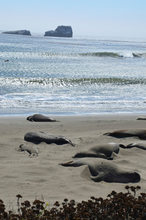 Elephant seals lounging on the beach.